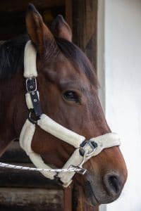A horse wearing a bridle for the sunnah academy of sports horse riding